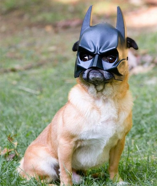 batman-pug