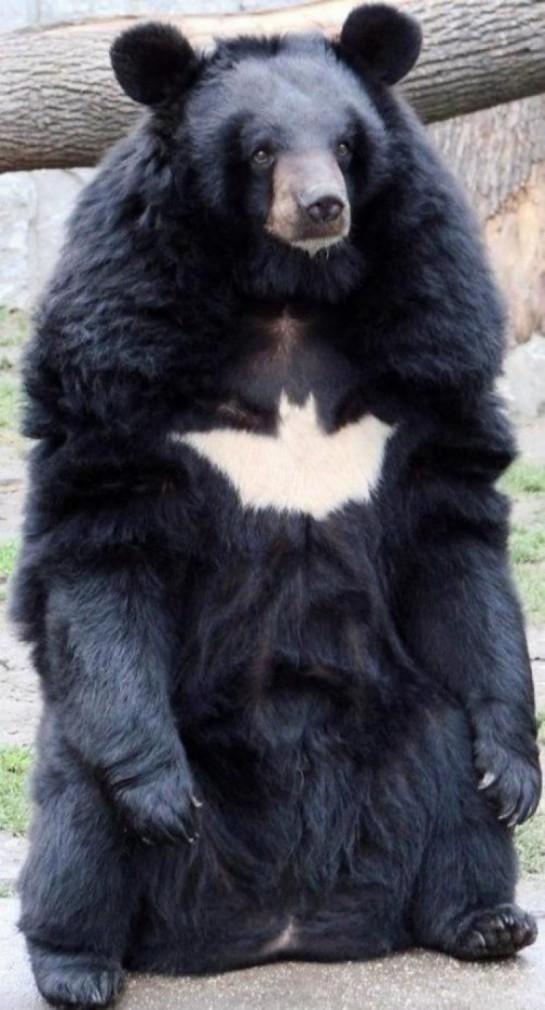 bear-batman