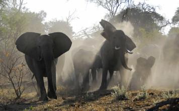 éléphants en colère