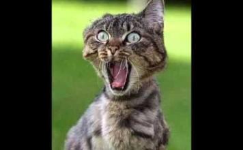 Un chat musclé