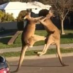 Bagarre de kangourous