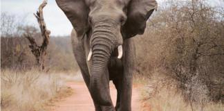 charge éléphant