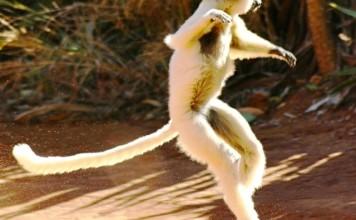 lémurien qui danse