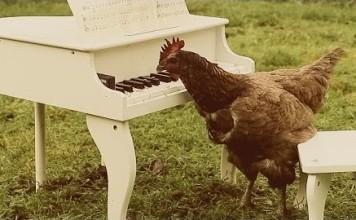 my-chickens-symphony-igorrr-poules