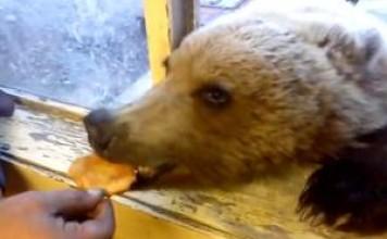 ours réclame à manger