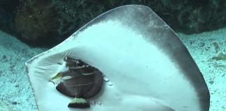 raie essaie de manger