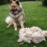 Brosser un chien très poilu