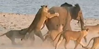 Eléphanteau vs 14 lions