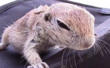 Sauvetage d'un écureuil