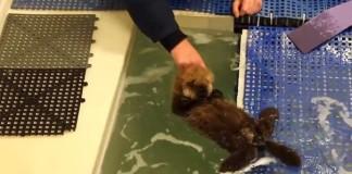 Un bébé loutre apprend à nager