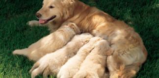 Une chienne joue avec ses chiots