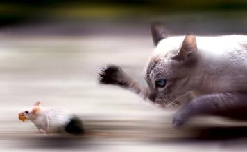 chat chasseur de souris