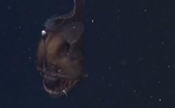 dragon des abysses filmé pour la première fois