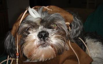 ewok-dog