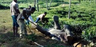 sauvetage-elephant-coince-dos