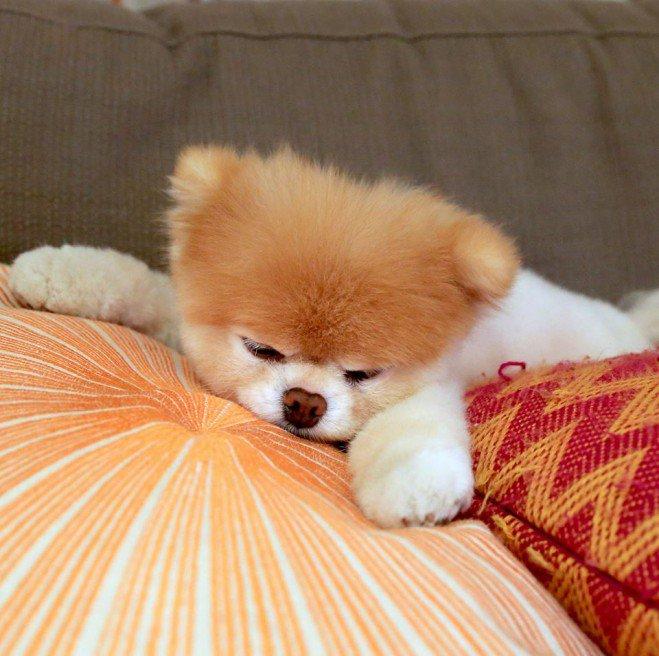 Boo, le chien le plus mignon du monde_2