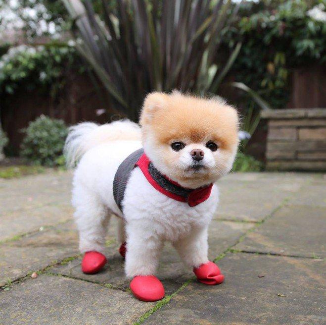 Boo, le chien le plus mignon du monde_4