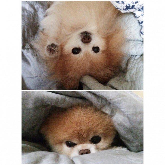 Boo, le chien le plus mignon du monde_7