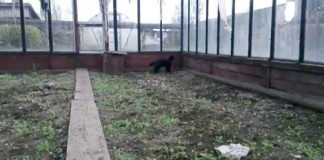 Un chat kamikaze sort d'une serre