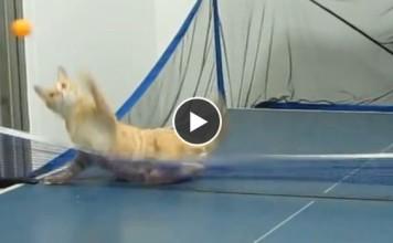 ce-chat-est-un-joueur-de-ping-pong