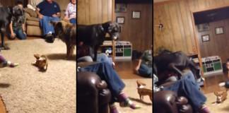 gros-chien-peur-chihuahua