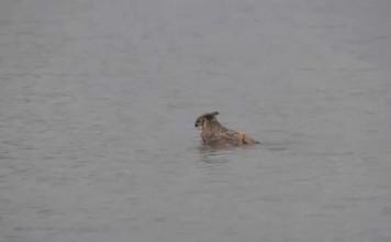 hibou-nageur