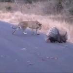 leopard-vs-porc-epic