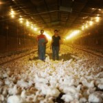visite-elevage-intensif-poulets