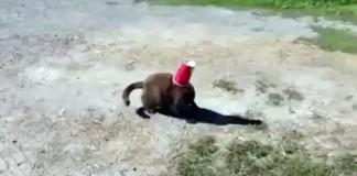 Un chat coincé dans un gobelet a besoin d'aide