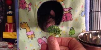 rat-brocoli