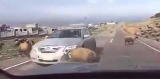 belier-vs-voiture
