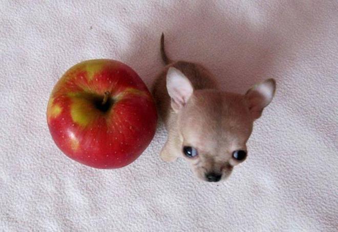 toudi-and-apple-L
