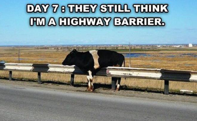 drunk_cow-L