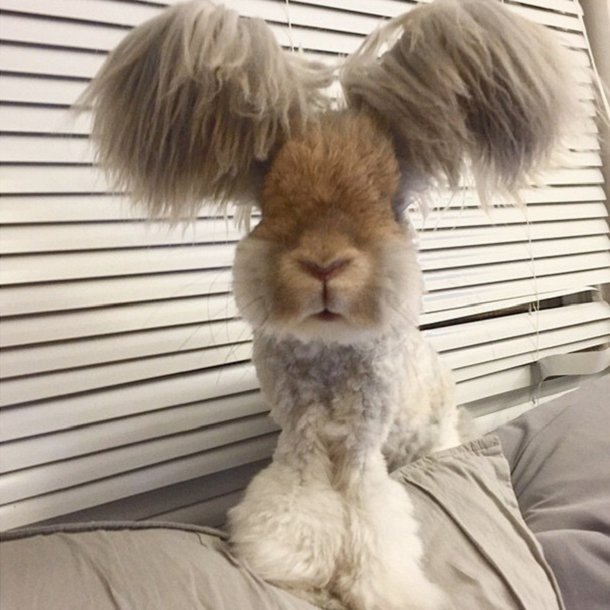 lapin-angora-wally-oreilles-3