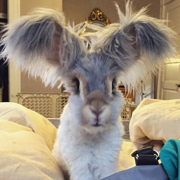 lapin-angora-wally-oreilles-6