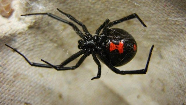 10-Black-Widow-Spider-copy