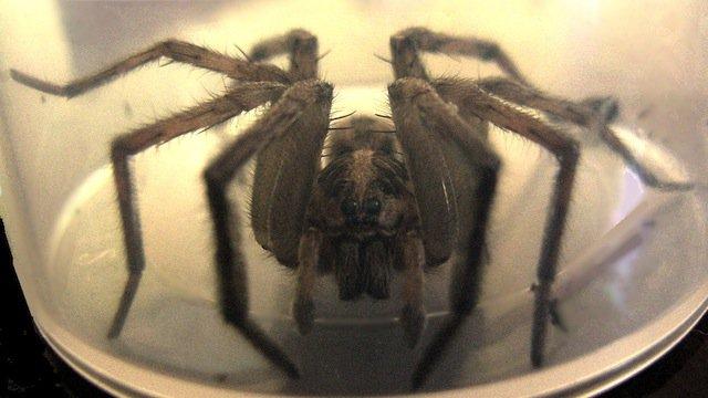 11-Tarantula-Wolf-Spider-copy