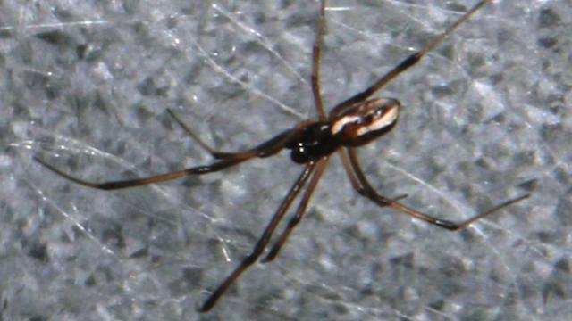 12-Redback-Spider-copy