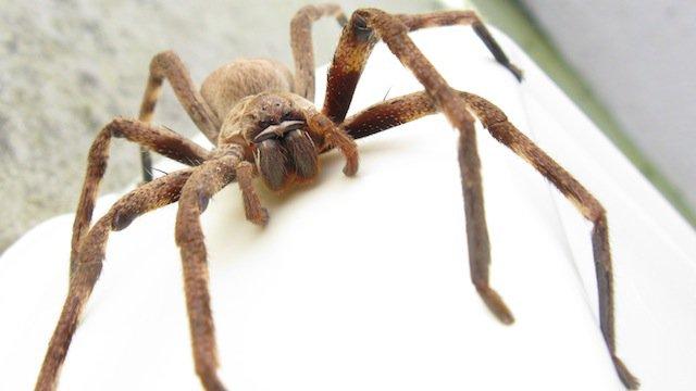2-Giant-Huntsman-Spider-copy