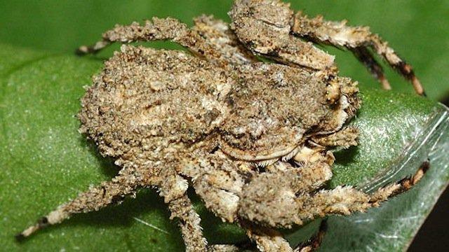 3-Bird-Dung-Crab-Spider-copy