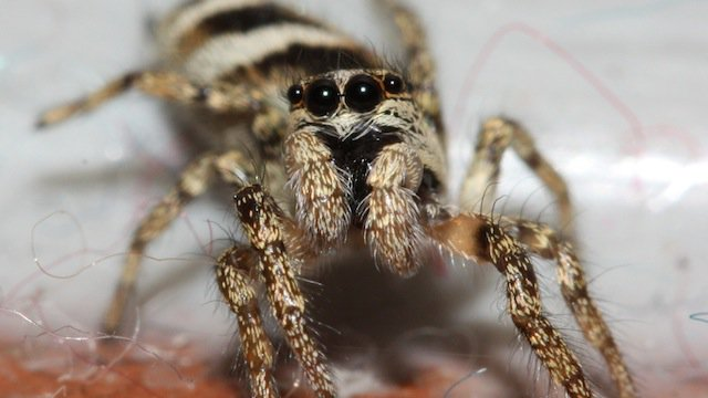 6-Zebra-Spider-copy