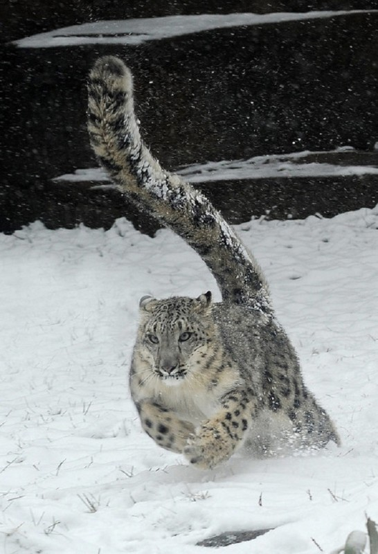 Leopard-des-neiges