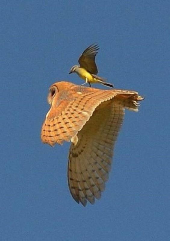 Oiseau-sur-un-hibou