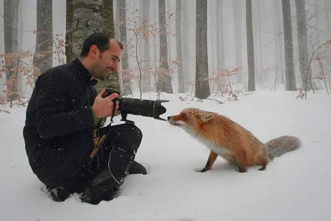 Renard-vs-photographe
