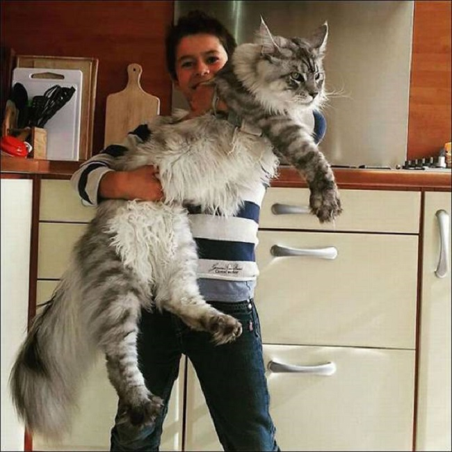 Tres-gros-chat