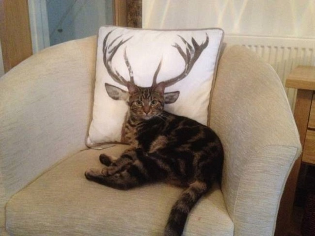 Chat-cerf