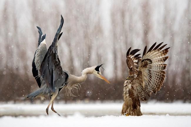 Heron-vs-Buse