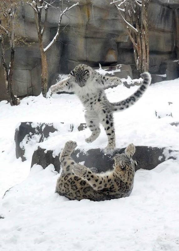 Leopard-des-neiges-de-6-mois-jouant-dans-la-neige