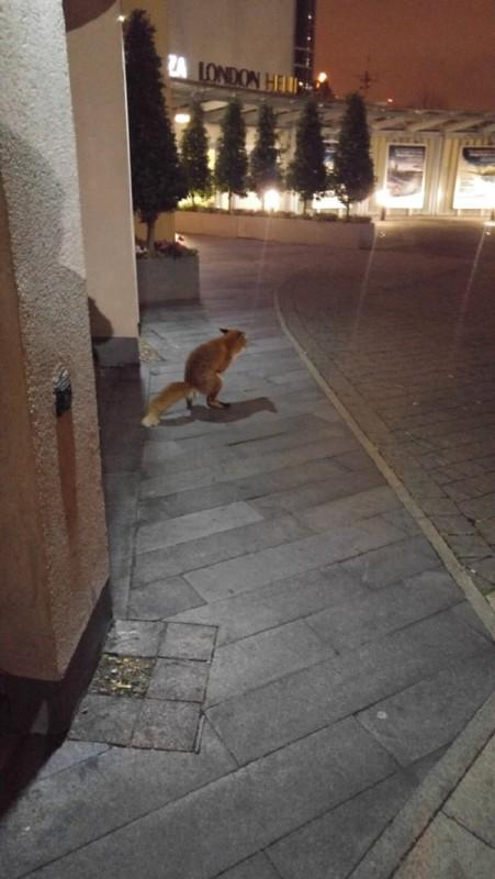 Un-renard-fait-caca-devant-un-hotel-à-Londres