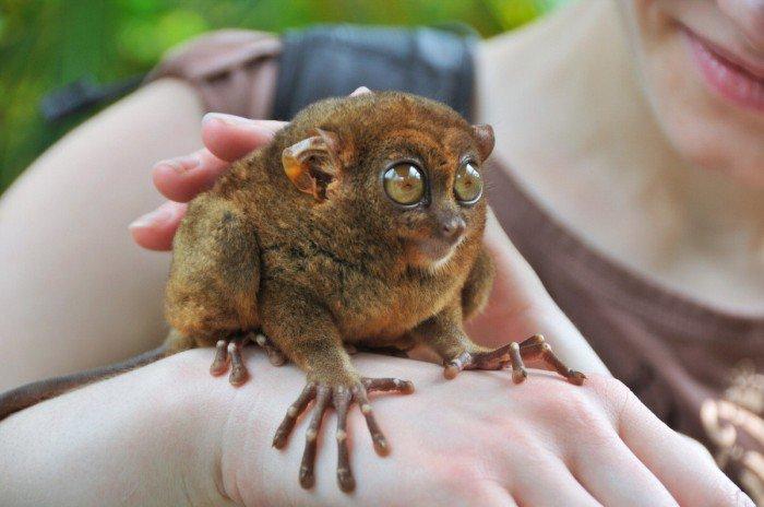 Tarsier--smallest-primate-lrg